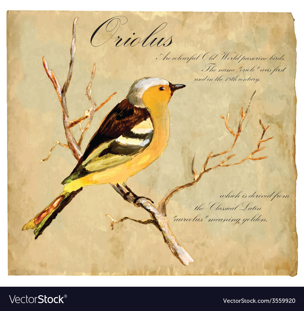 Hand painted bird oriolus vector | Price: 3 Credit (USD $3)
