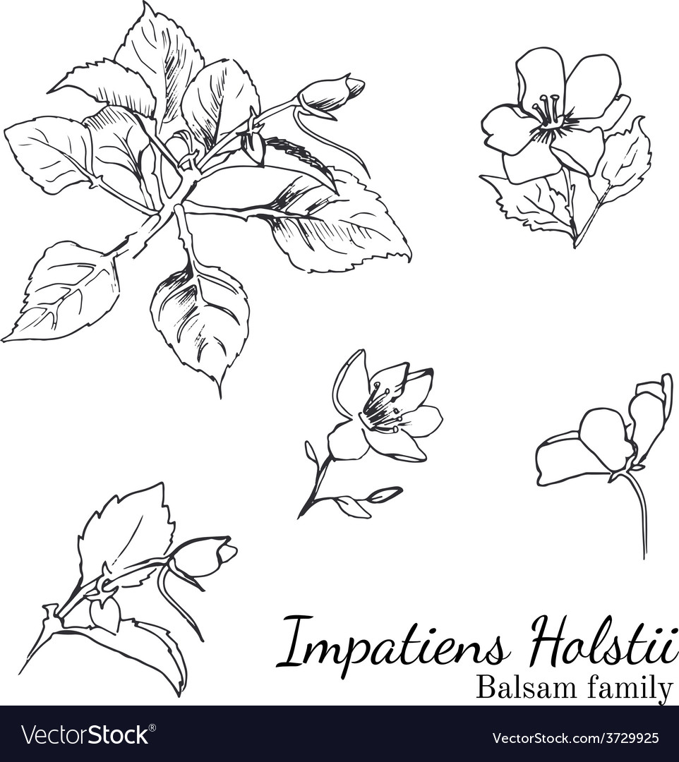 Busy lizzy parts of plant sketches set vector | Price: 1 Credit (USD $1)