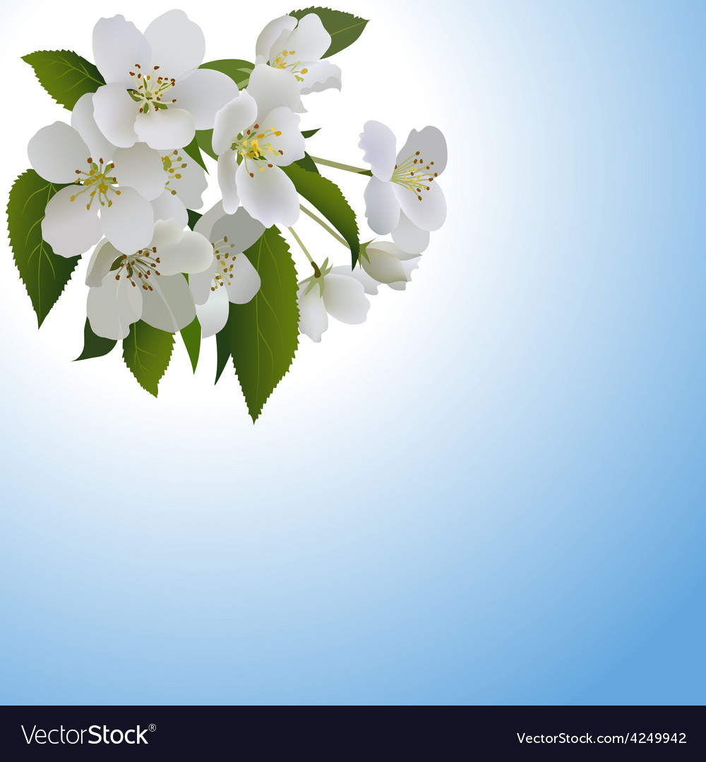 White apple flowers with leaves and bud vector | Price: 3 Credit (USD $3)