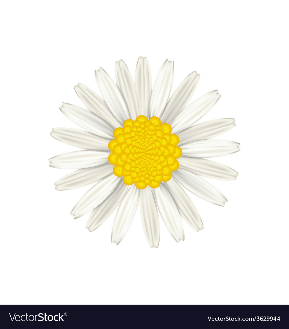 Camomile flower isolated on white background vector | Price: 1 Credit (USD $1)