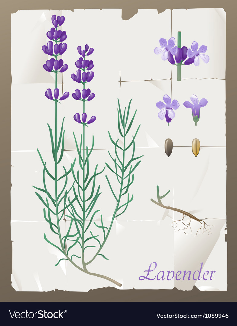 Lavender botanical drawing vector | Price: 1 Credit (USD $1)