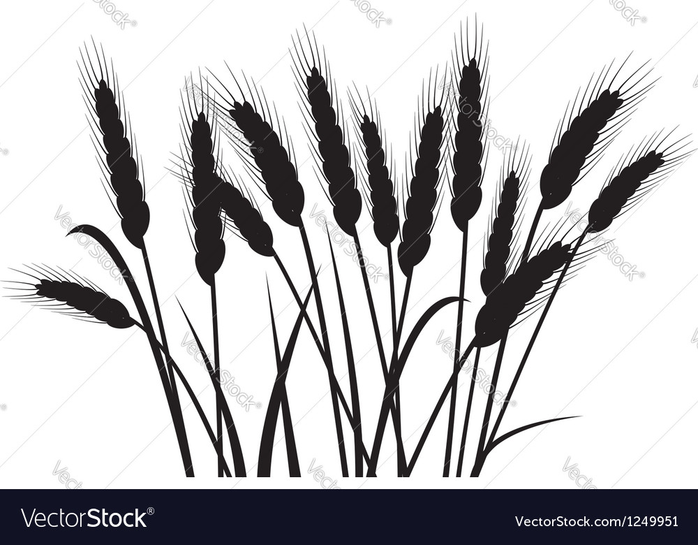Wheat ears vector
