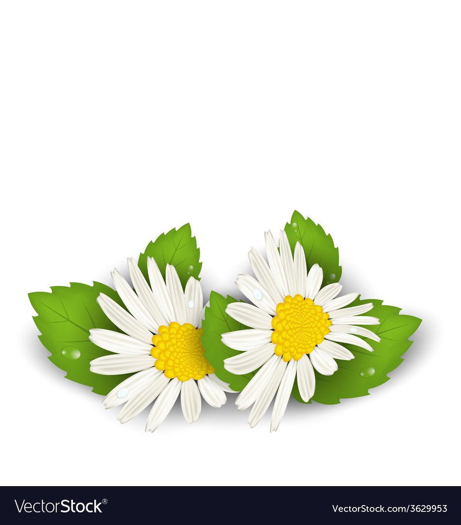 Camomile flowers with shadows on white background vector | Price: 1 Credit (USD $1)