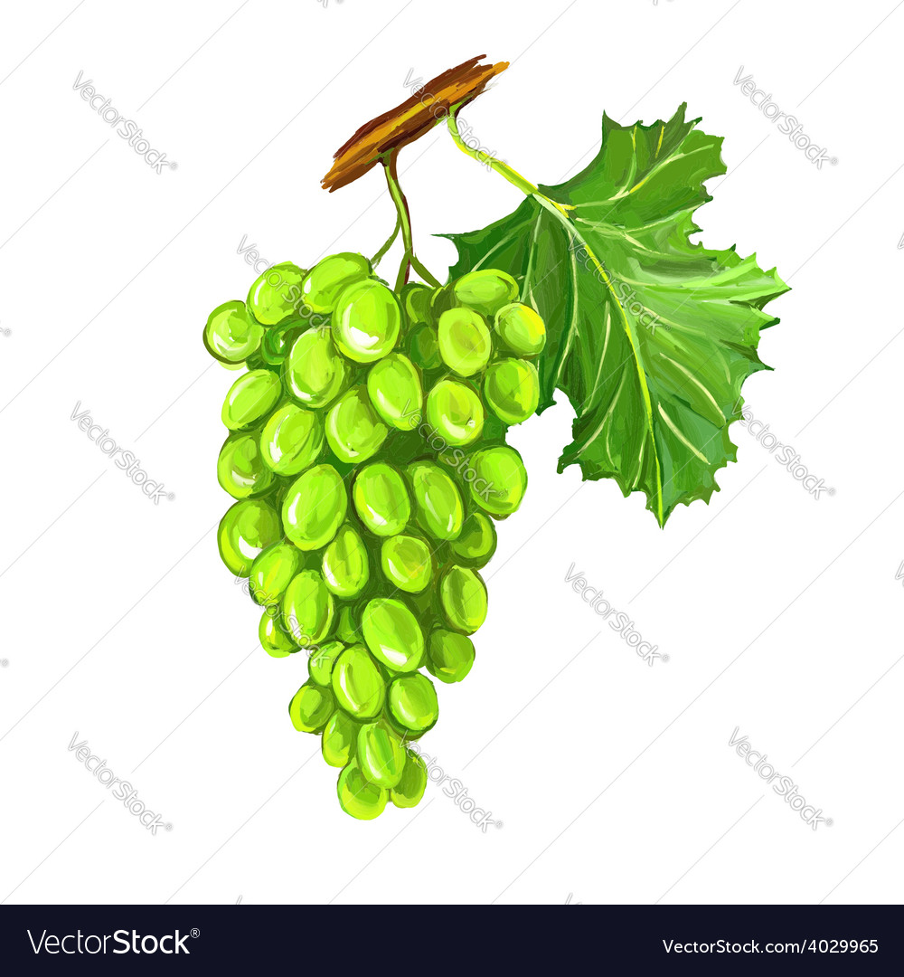 Grapes fruit hand drawn vector | Price: 1 Credit (USD $1)