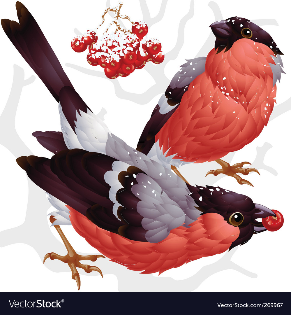 Bullfinch and ash berry vector | Price: 3 Credit (USD $3)