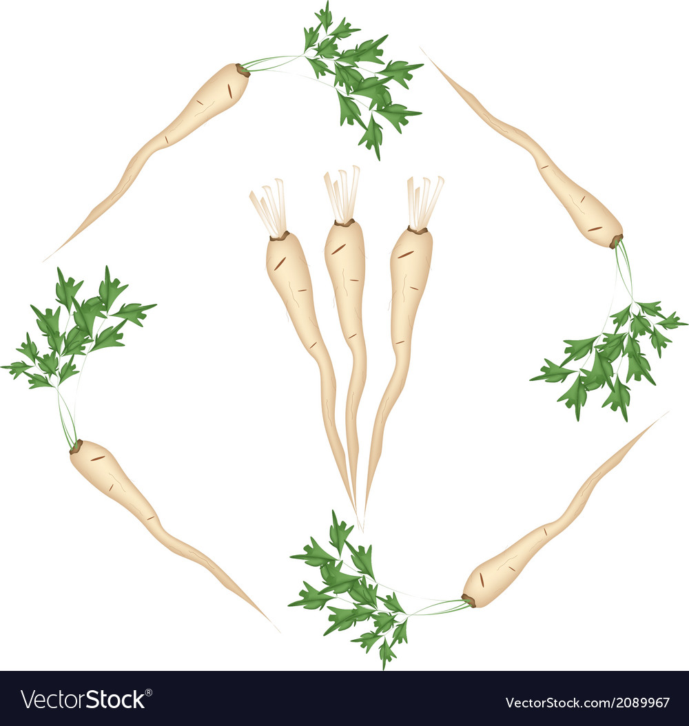 Fresh green parsley roots on white background vector | Price: 1 Credit (USD $1)