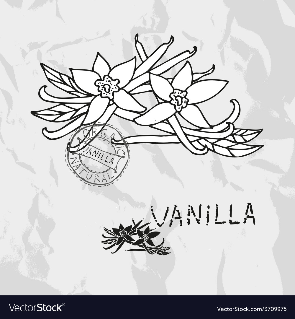 Hand drawn vanilla vector | Price: 1 Credit (USD $1)