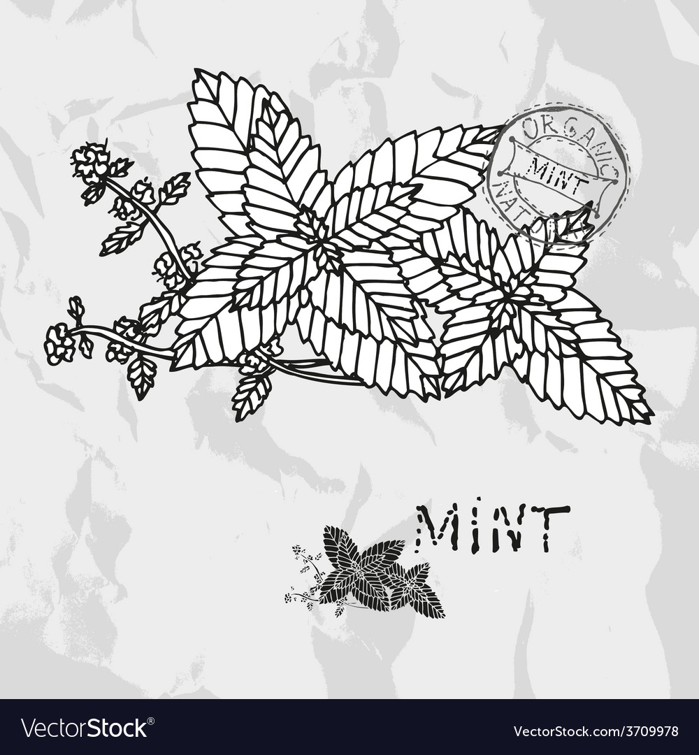 Hand drawn mint plant vector | Price: 1 Credit (USD $1)
