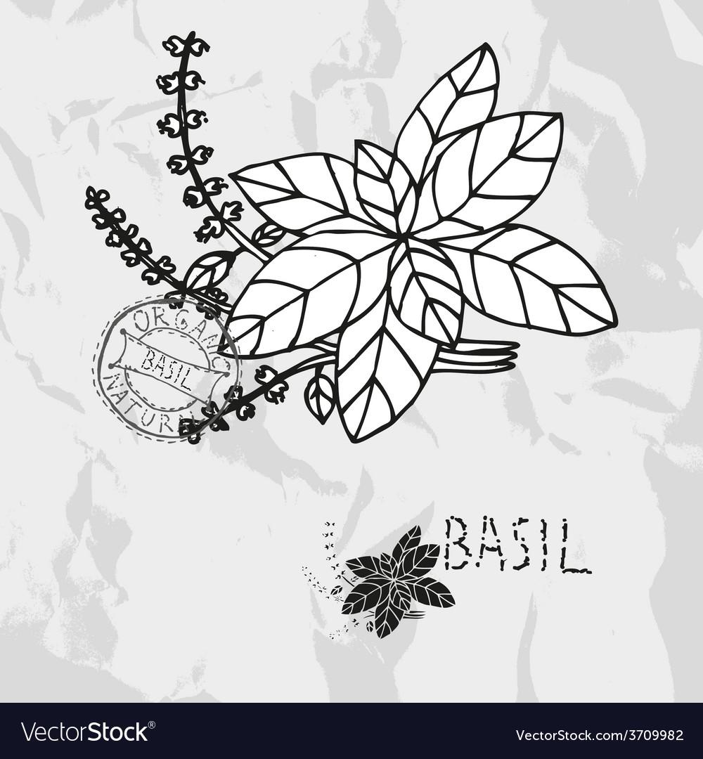 Hand drawn basil vector | Price: 1 Credit (USD $1)