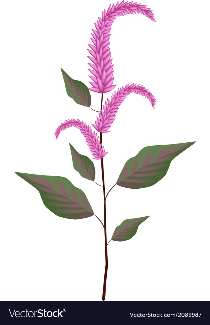 Fresh red amaranth on a white background vector | Price: 1 Credit (USD $1)