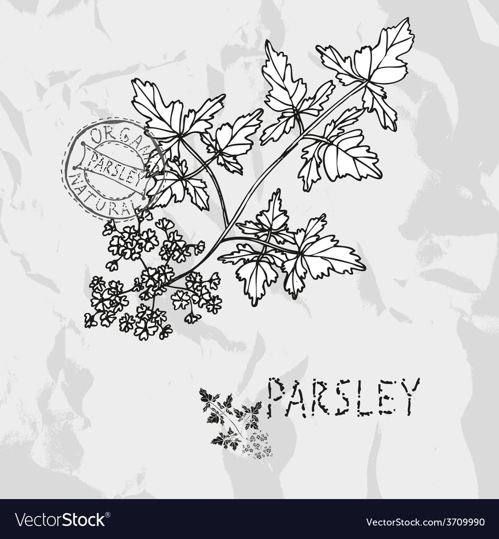 Hand drawn parsley vector | Price: 1 Credit (USD $1)