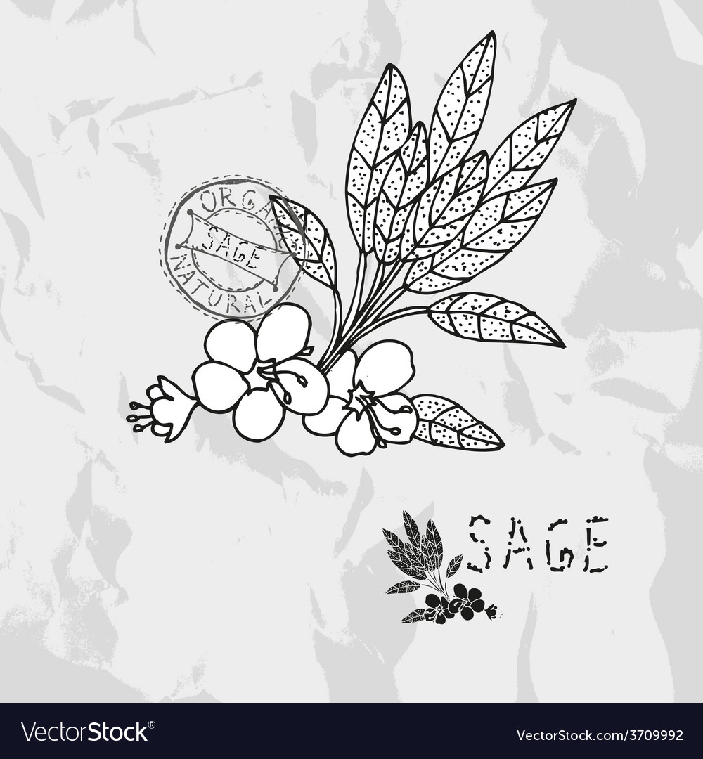 Hand drawn sage vector | Price: 1 Credit (USD $1)