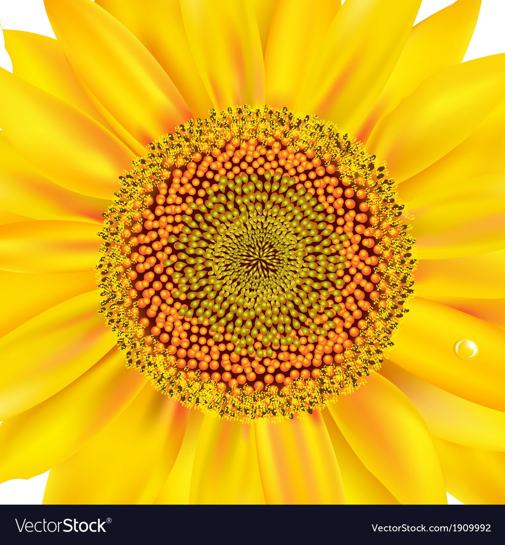 Sunflower closeup vector | Price: 1 Credit (USD $1)