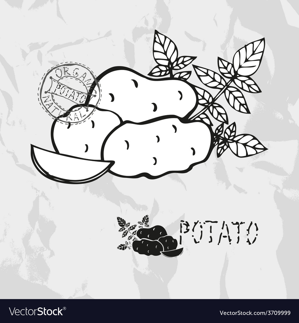 Hand drawn whole and sliced potatoes vector | Price: 1 Credit (USD $1)