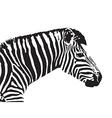 Image of an zebra head vector