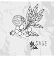 Hand drawn sage vector