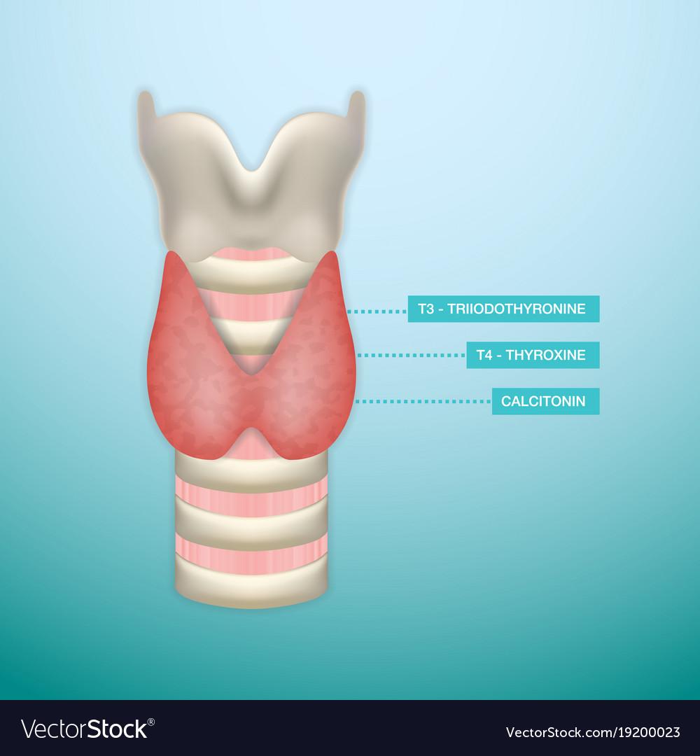 Thyroid hormone secretion endocrinology system vector image