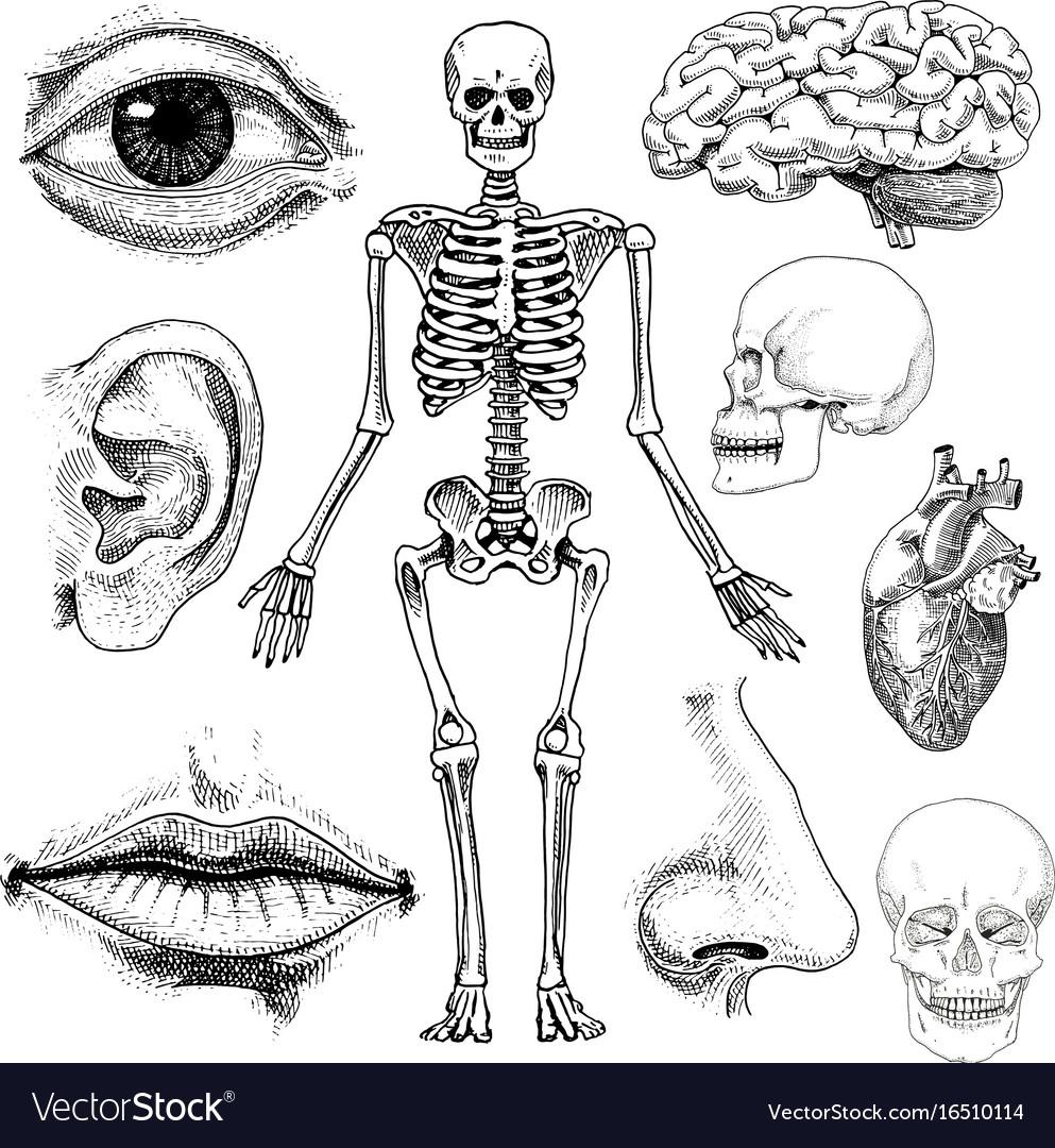Human biology anatomy engraved hand vector image