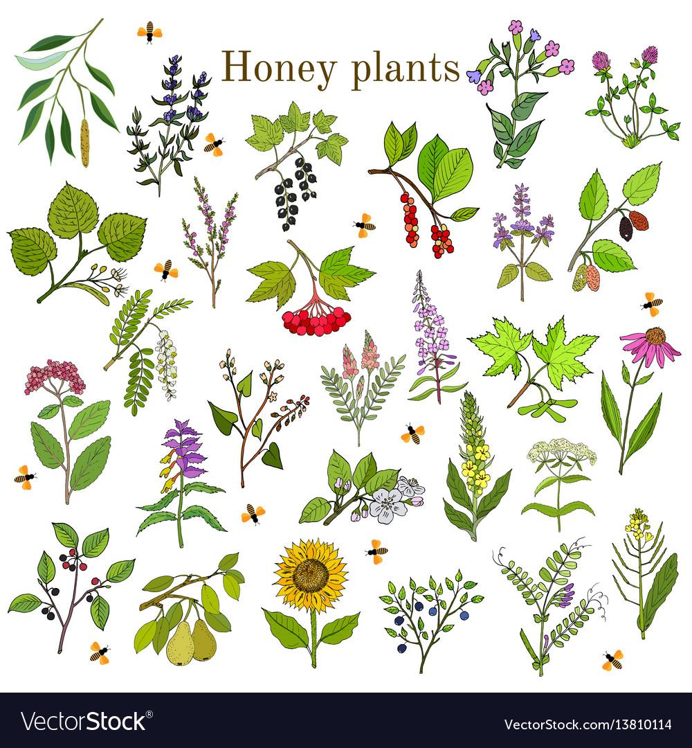 Image source plantsam com - Plants Nectar Sources For Honey Bees Vector Image