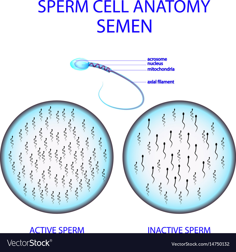 Sperm cell anatomy semen vector image
