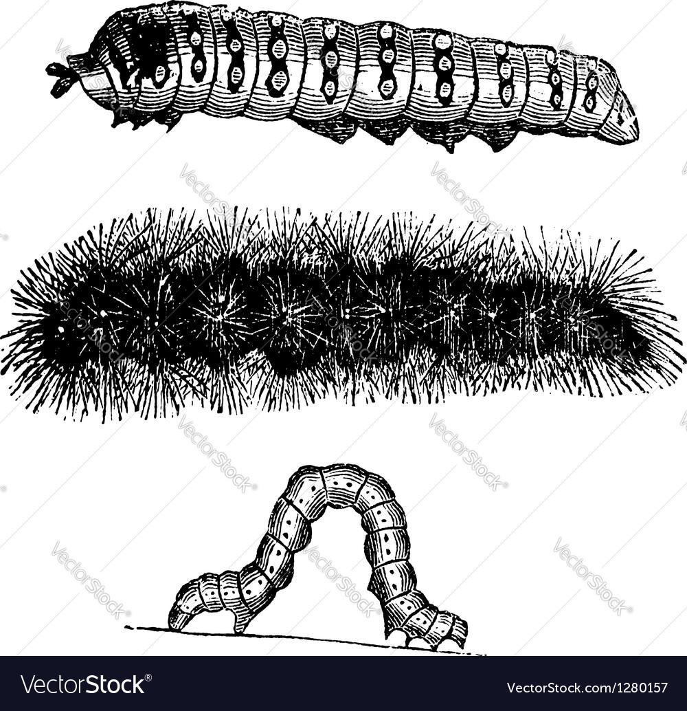 Caterpillar vintage engraving vector image
