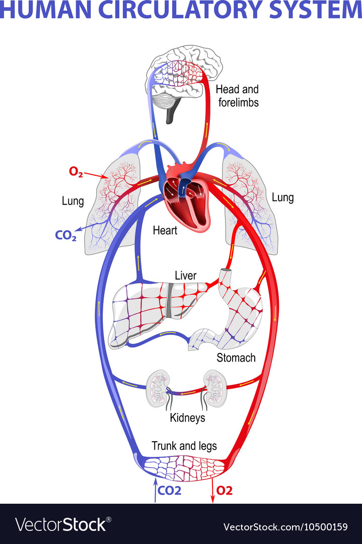 Human circulatory system vector image