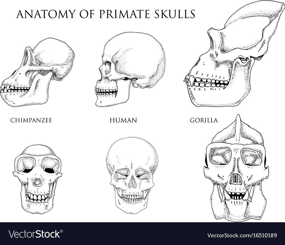 Human and chimpanzee gorilla biology and anatomy vector image