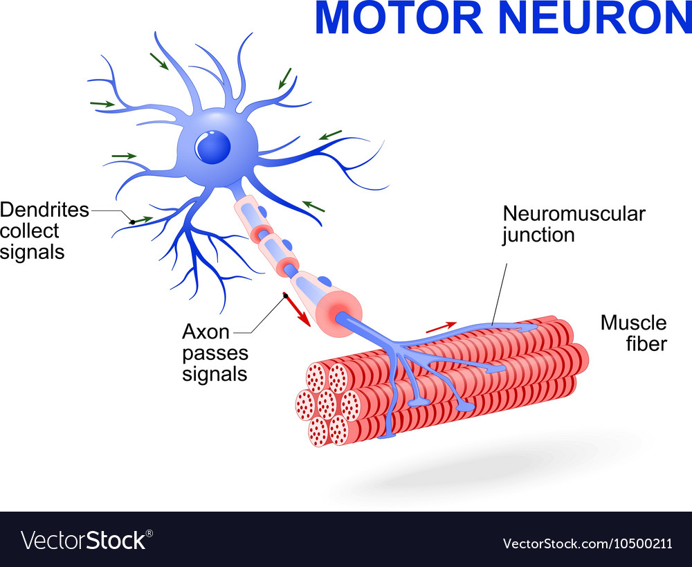 Diagram of motor neurone for What is motor neuron