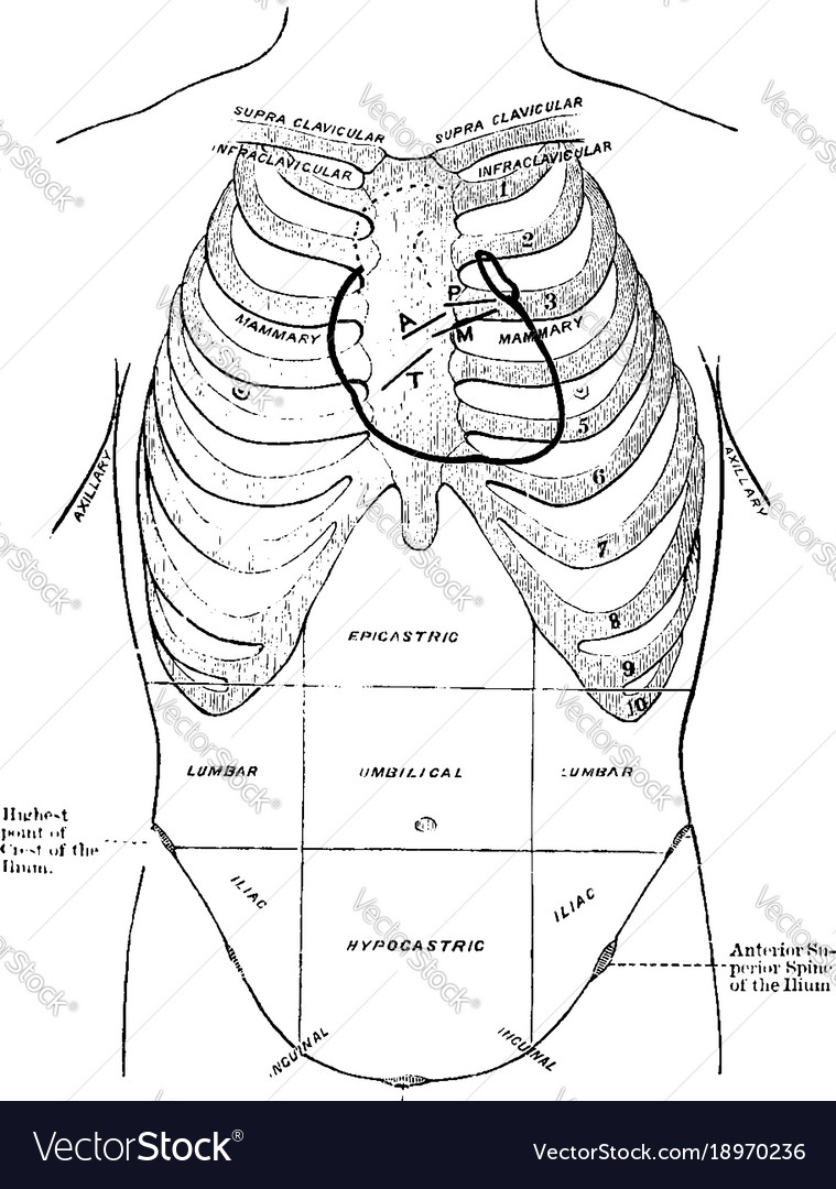 Diagram of thoracic and abdominal regions vintage vector image diagram of thoracic and abdominal regions vintage vector image ccuart Image collections