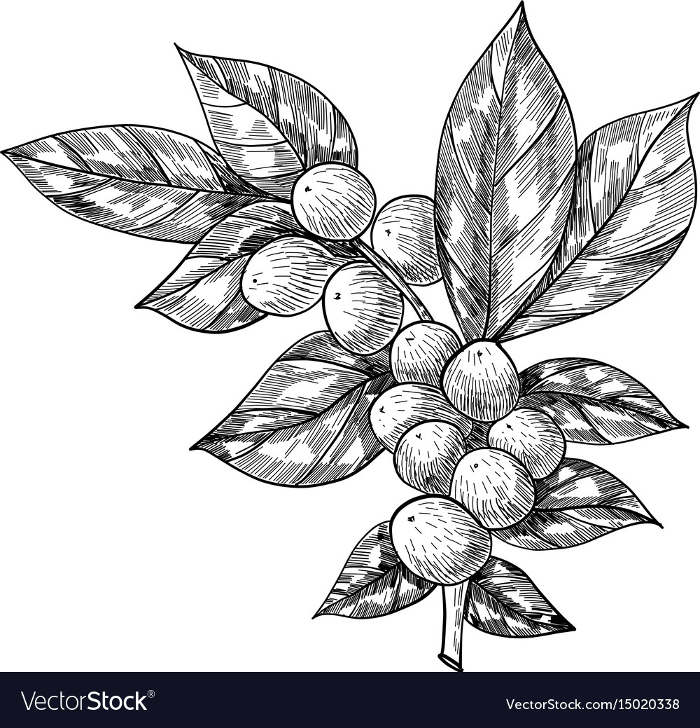 Coffee branch with leaf berry coffee bean fruit vector image