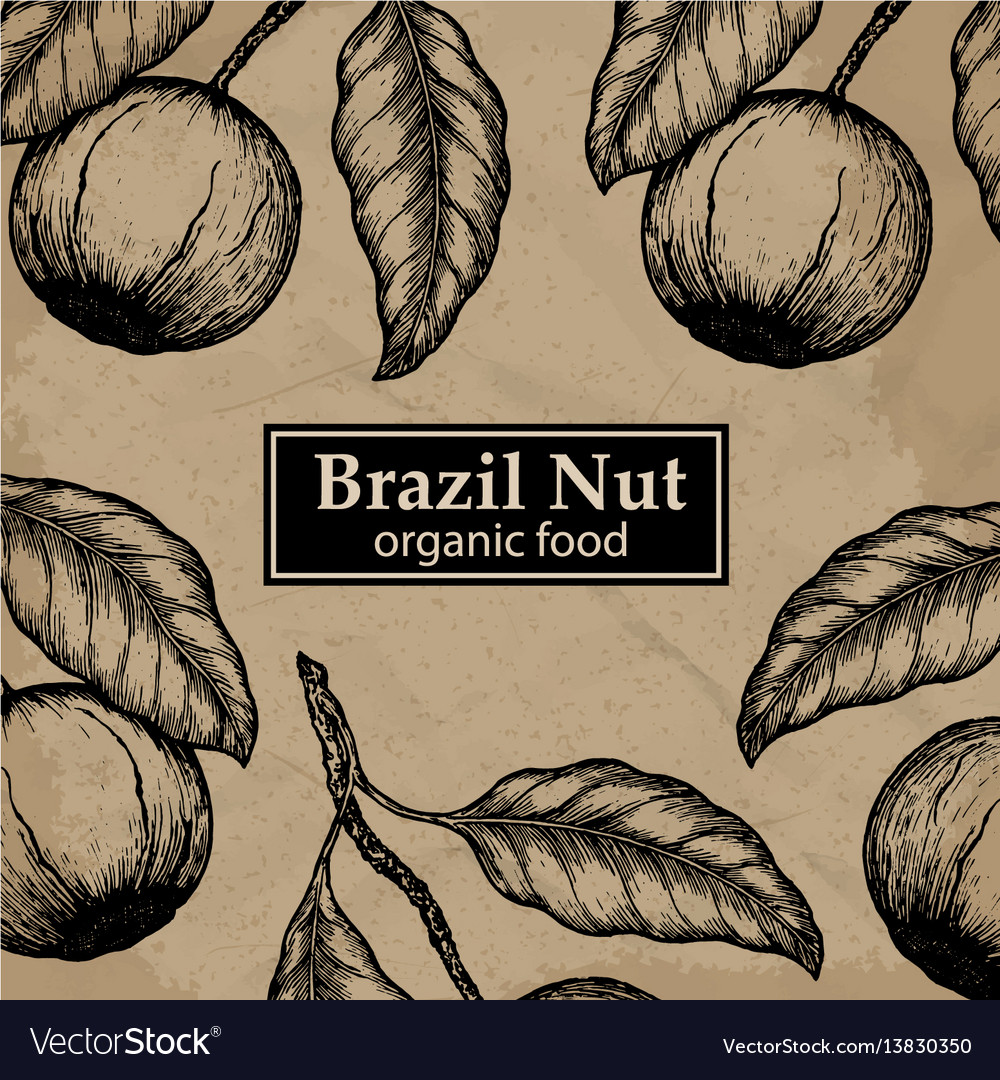 Brazil nuts tree design template vintage floral vector image