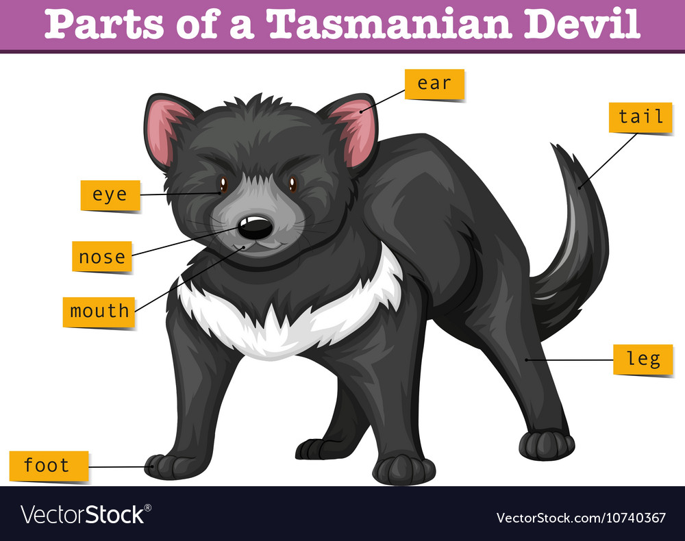 Diagram showing parts of tasmanian devil vector image