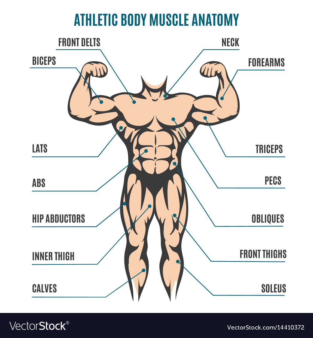 Athletic body man figure muscular anatomy vector image