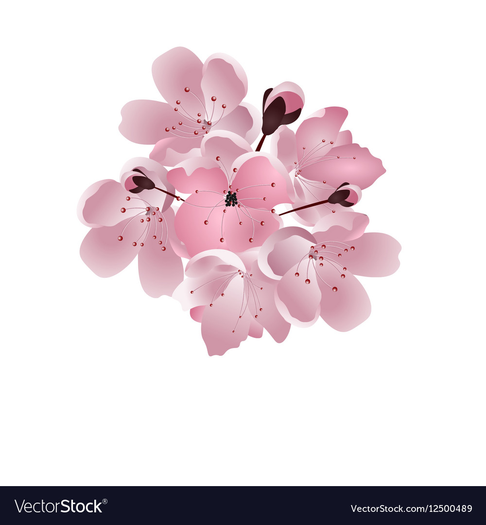 Japanese cherry Bouquet of pink sakura blossom vector image
