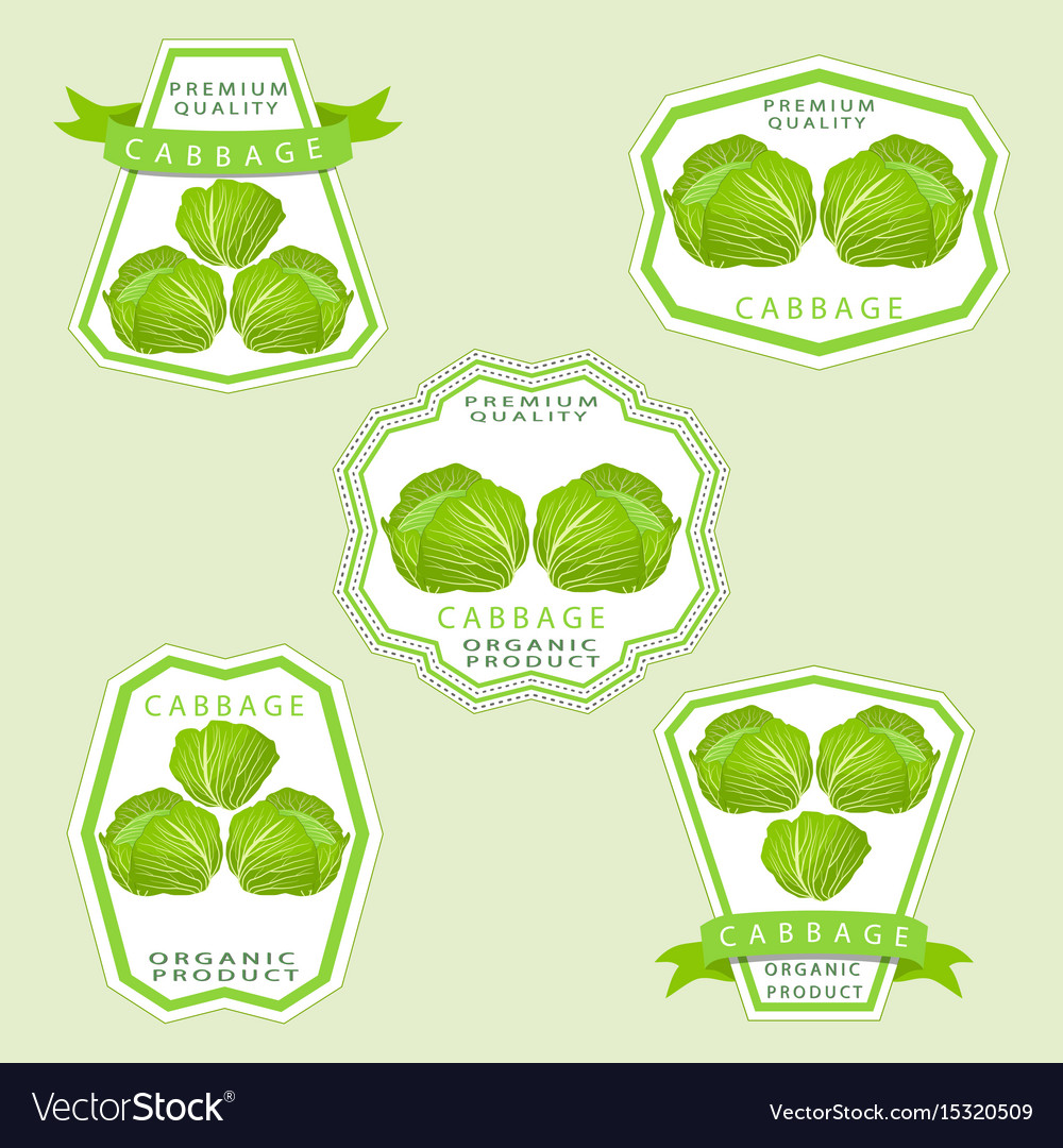 The cabbage vector image