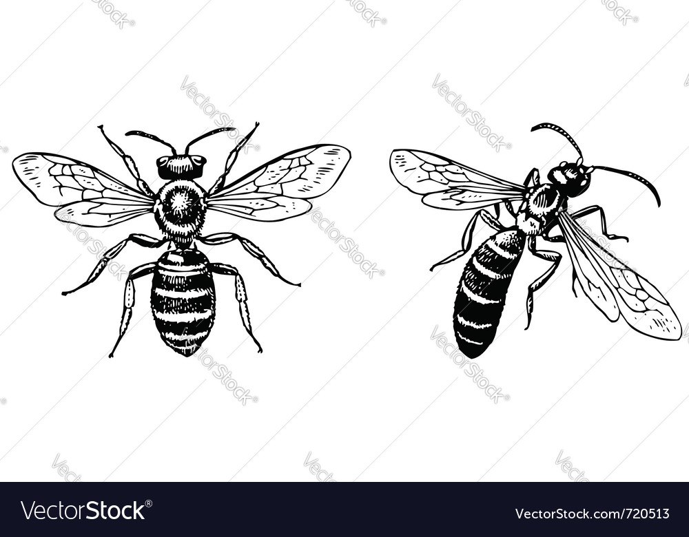Halictus sweat bee vector image