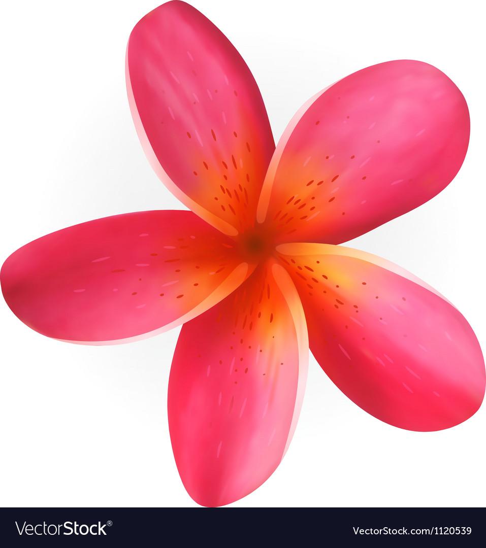 Pink plumeria flower isolated on white royalty free vector pink plumeria flower isolated on white vector image mightylinksfo Choice Image