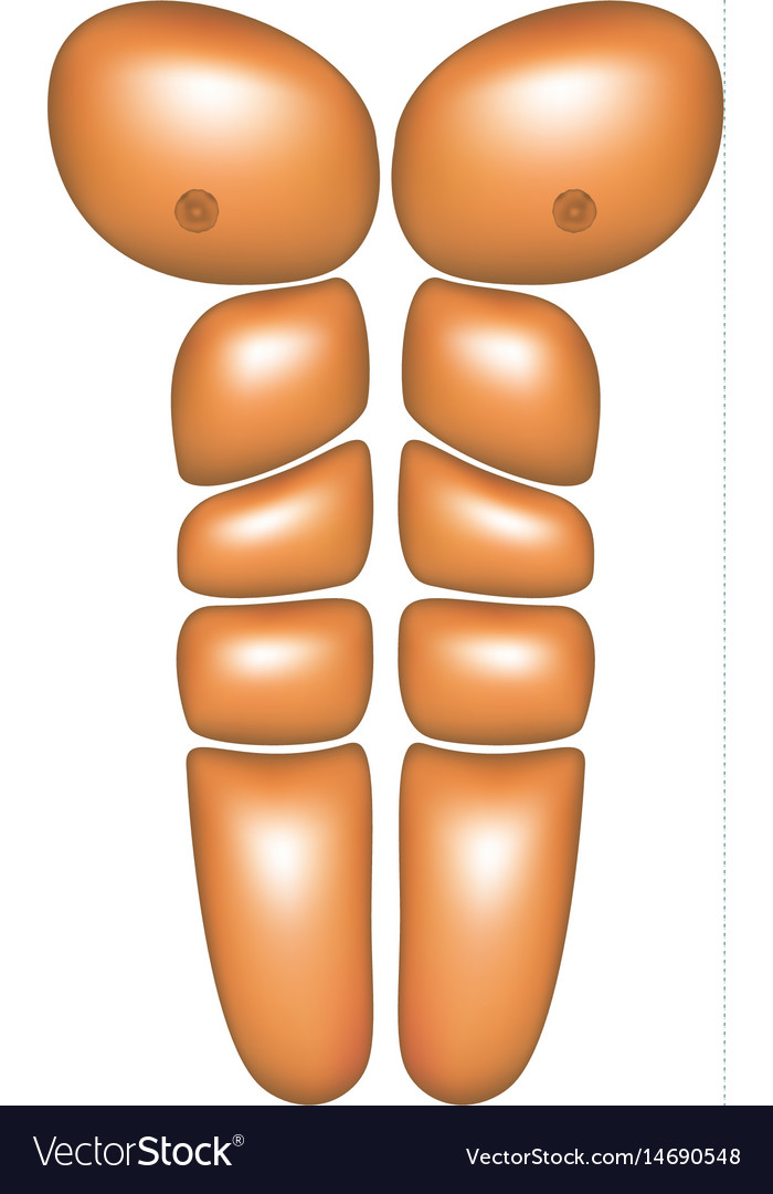 Male abdominal muscles vector image