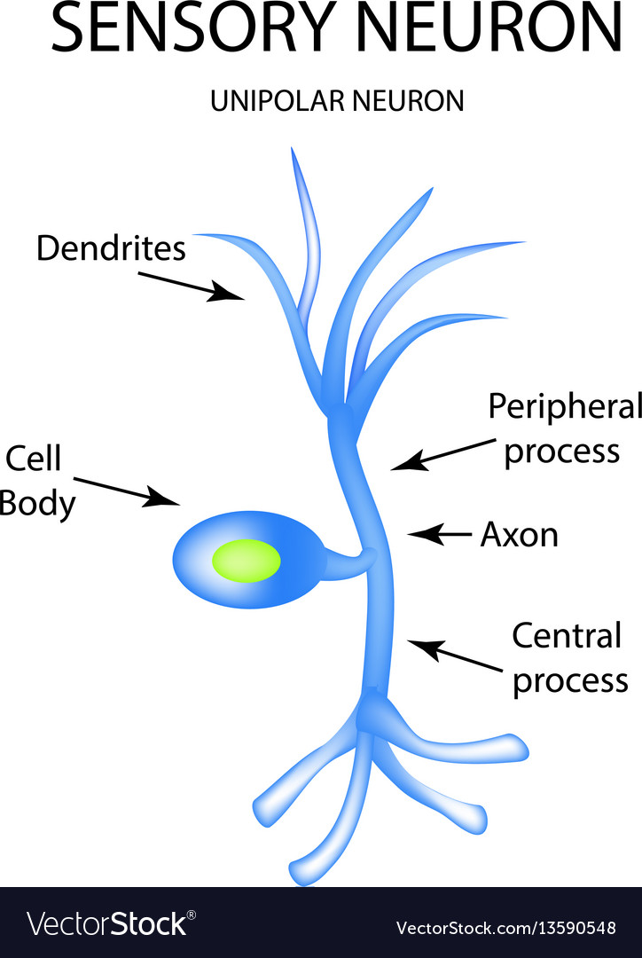 The structure of the sensory neuron infographics vector image