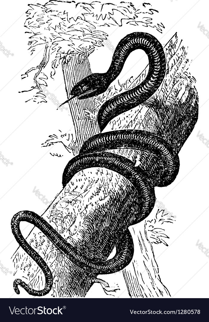 Eastern Racer or Coluber constrictor vintage vector image