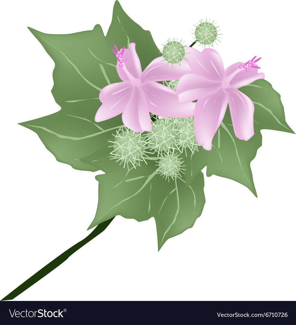 Urena Lobata Flowers with Urena Lobata Fruit vector image