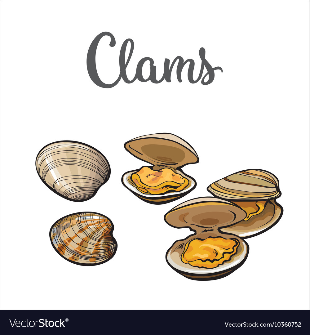 Raw clams isolated on white background vector image