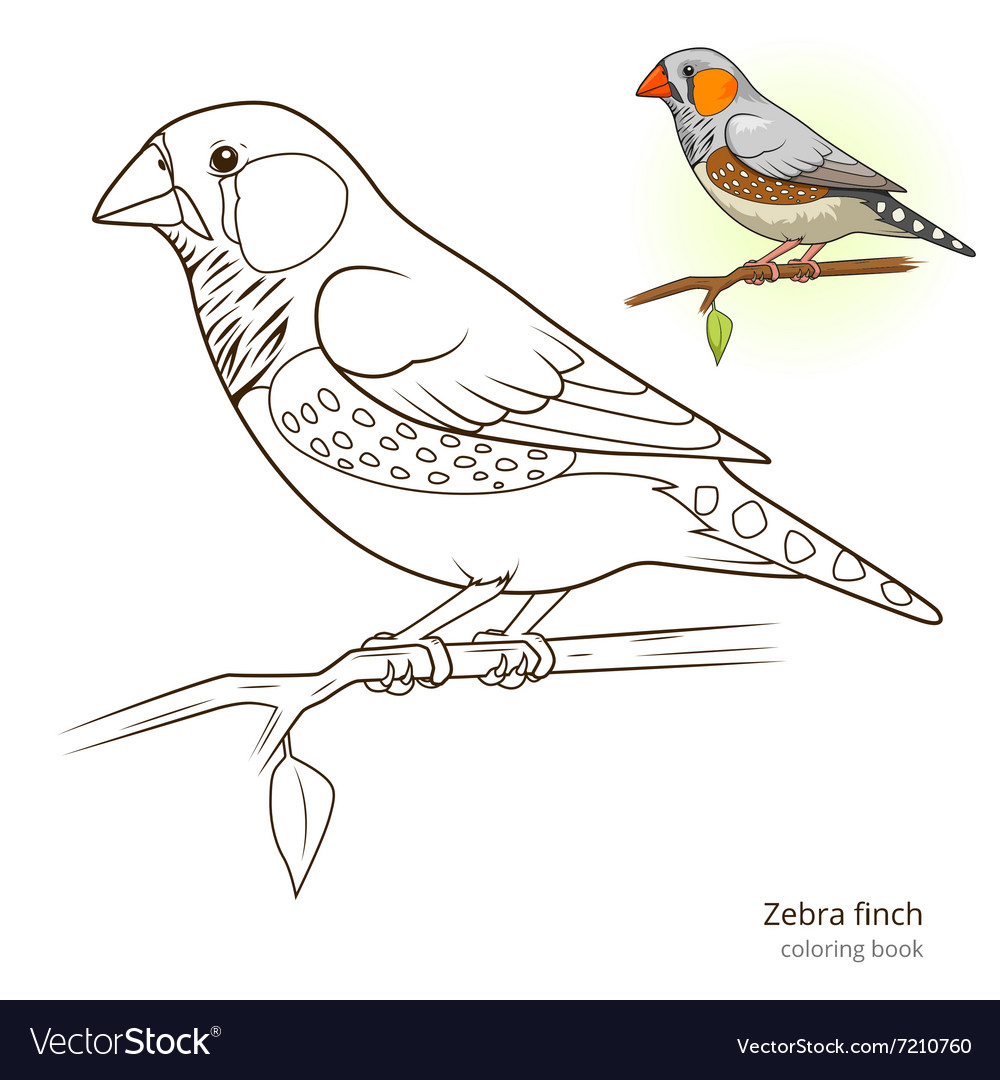 Zebra finch bird coloring book vector image