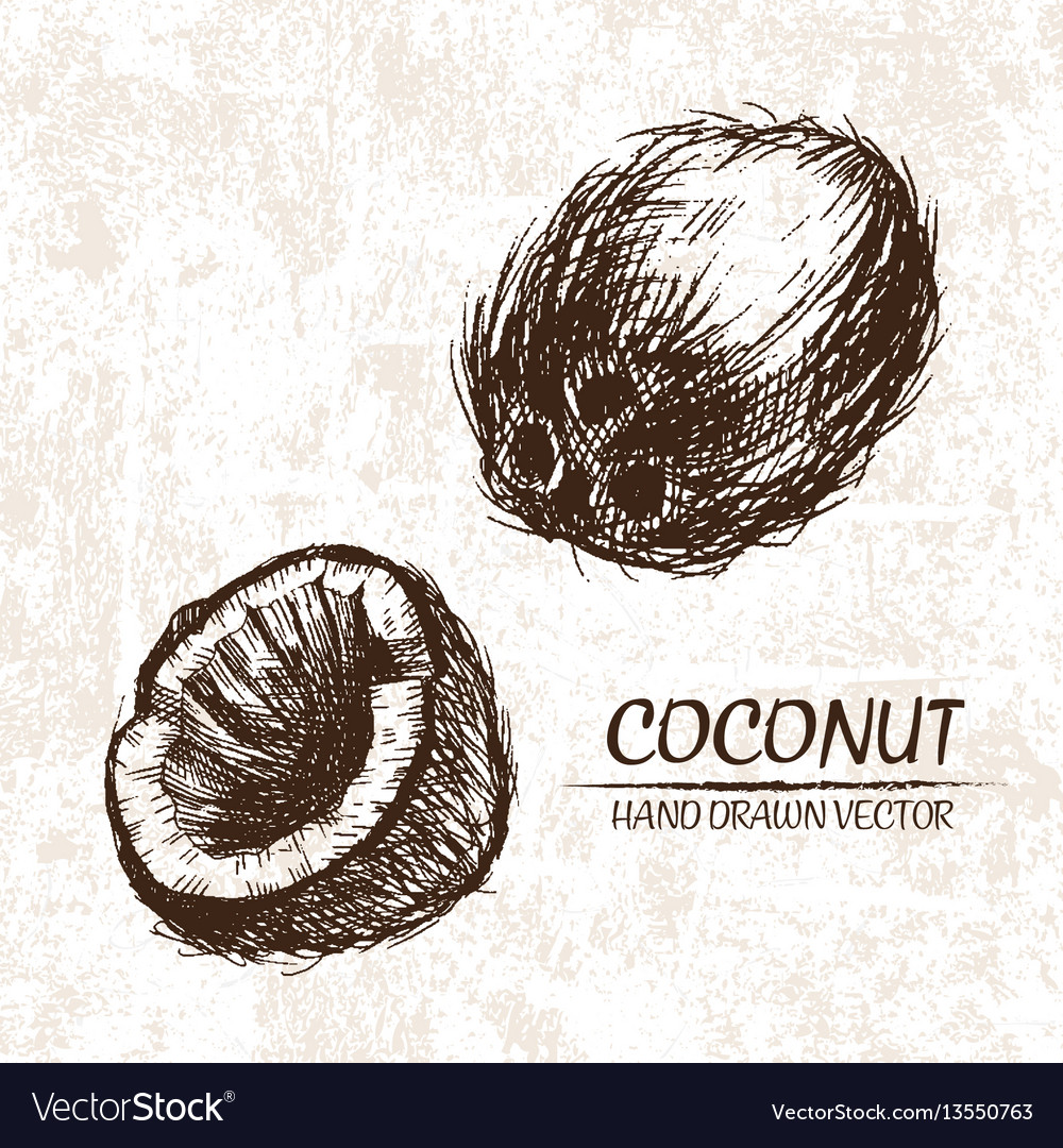 Digital detailed coconut hand drawn vector image