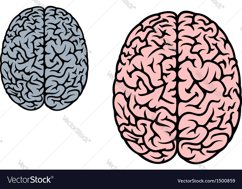 Isolated human brain vector image