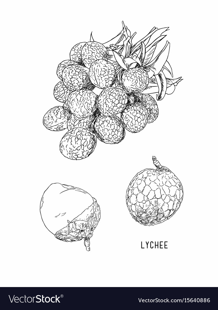 Lychee fresh tropical fruit element sketch vector image
