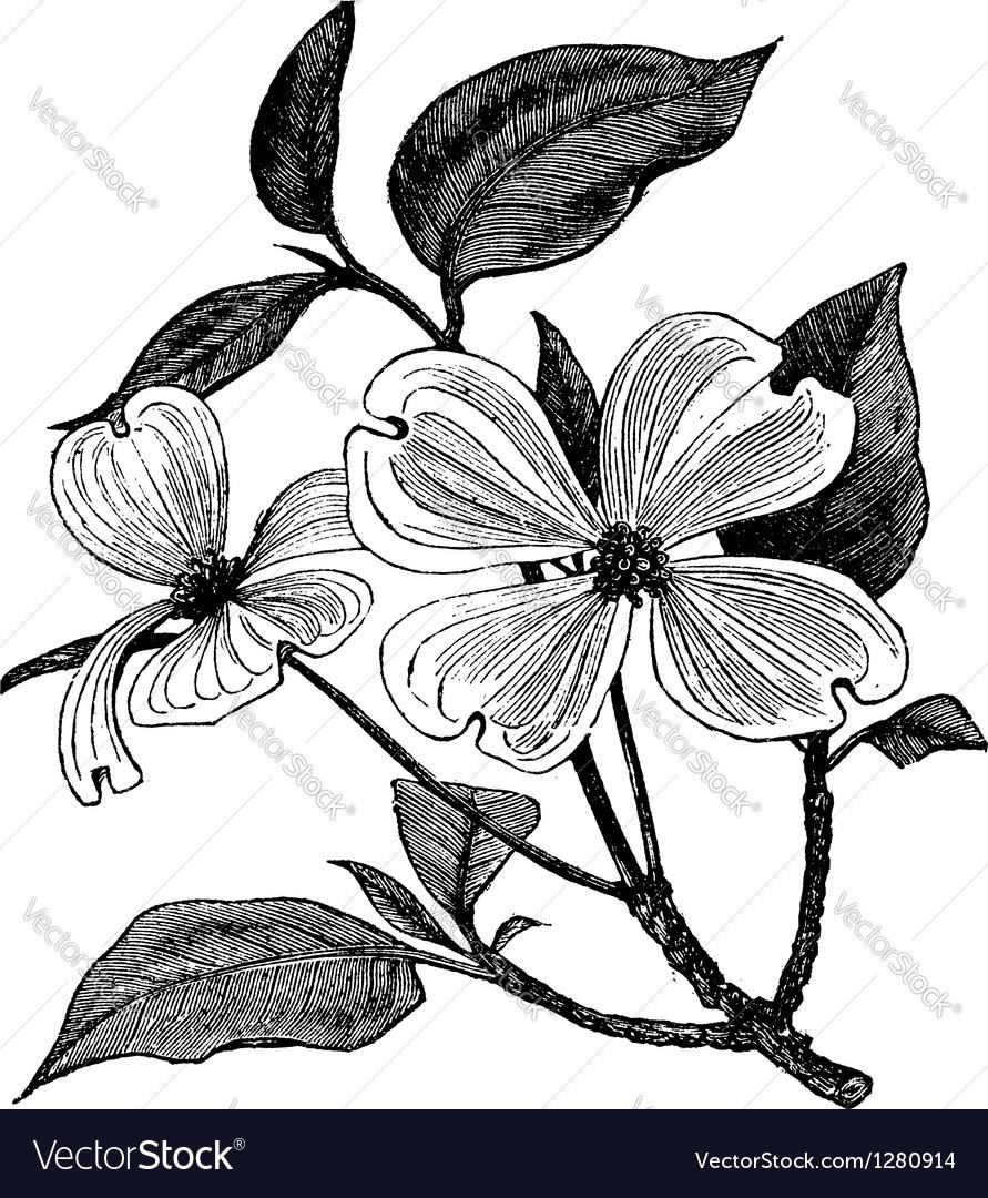 Flowering Dogwood vintage engraving vector image