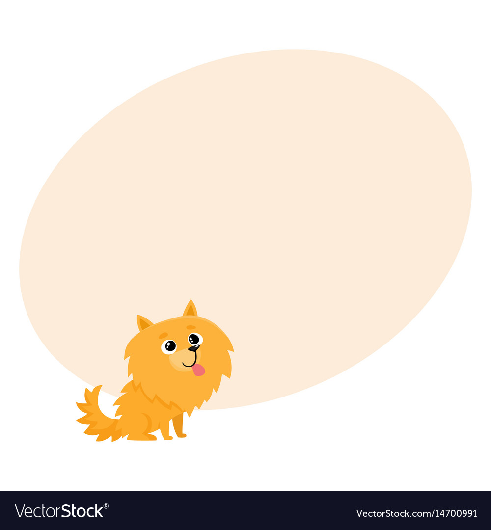 Cute little long haired pomeranian spitz dog vector image