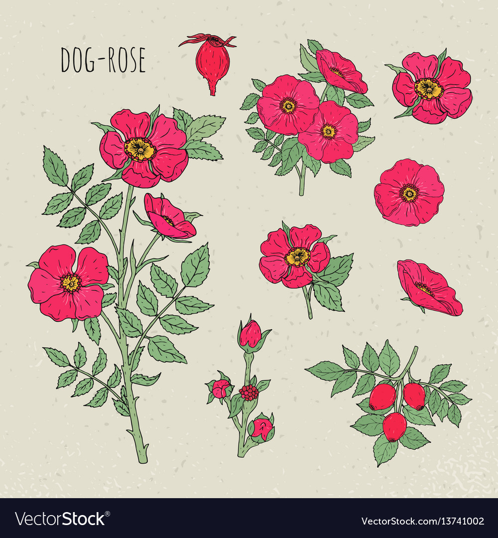 Dog rose medical botanical isolated vector image