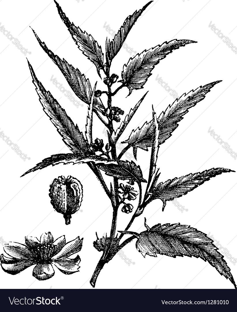 Jute Vintage Engraving vector image